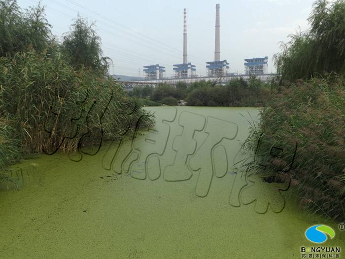 受水体富营养化影响, 大量浮萍漂浮于水面