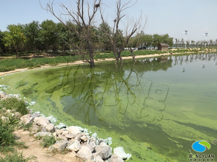 水体治理前,蓝藻大面积爆发